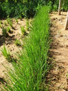 Vetiver-grass-holding-back-soil384x512