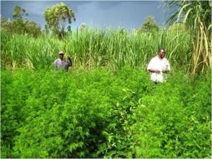 Photo of Artemisia plot at Kajulu
