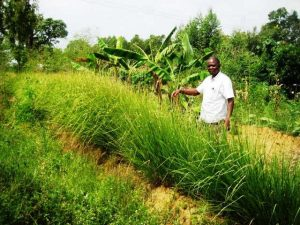 More Vetiver hedges are protecting more soil