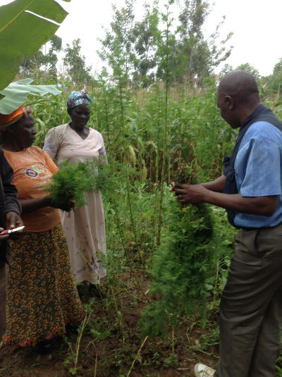 This was an opportunity to teach on both how to take the cuttings (which the lady is holding) and how to harvest. The plant is not so attractive but has begun to bring its benefit.