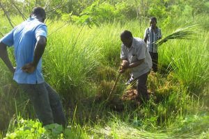 Digging Vetiver grass from the nursery
